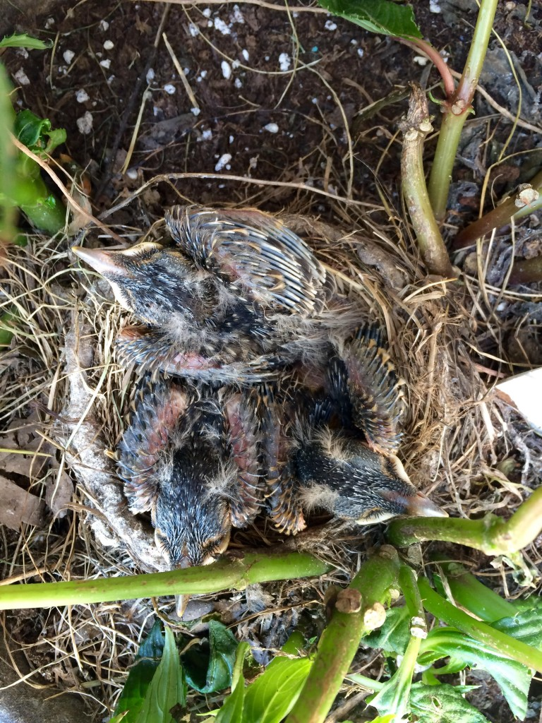 09-30-15 3 baby robins